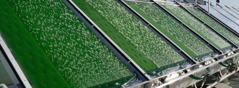 Биодизель из водорослей